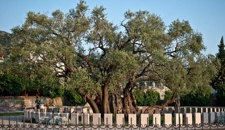 Old Olive Tree – Bar